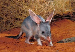 The bilby.  This is a real thing in Oz.